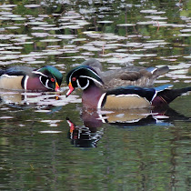 Waterfowl Of The Pacific Northwest