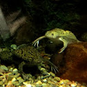 African Clawed Frog pair