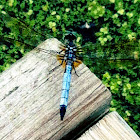 Blue Dasher(Adult Male)