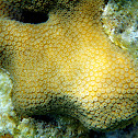 Mustard Hill Coral (Yellow Porites)