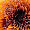 Dahlia: Copper