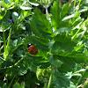 Lady bug or ladybird beetle