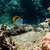 Spotnape Butterflyfish
