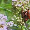 Milkweed bugs Nymph