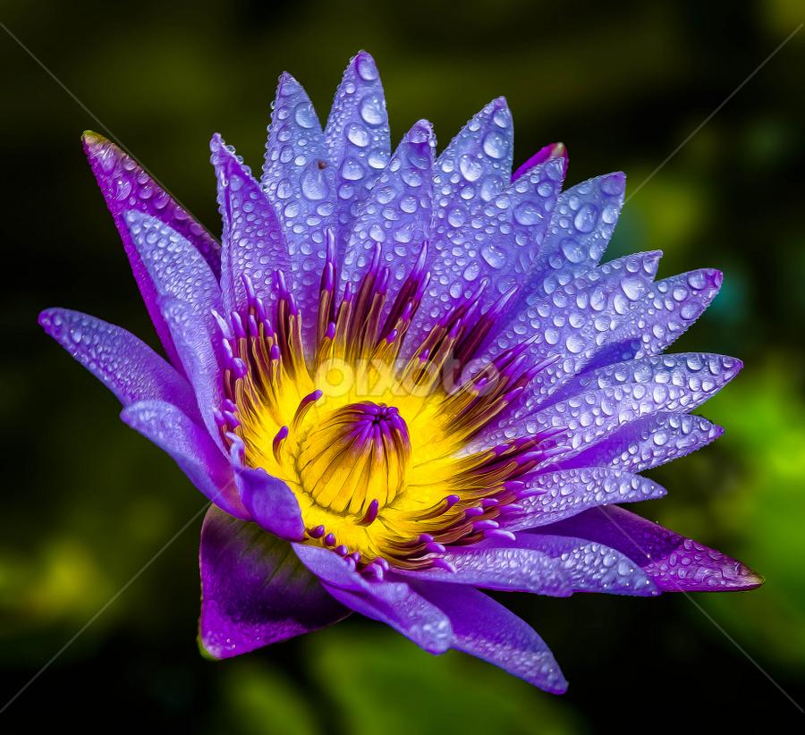 by Ronnel Masangkay - Flowers Single Flower ( color, colors, landscape, portrait, object, filter forge,  )