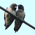 The Ashy Woodswallow