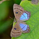 Purple-washed Eyed Metalmark