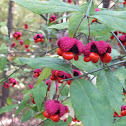 American Spindle Tree