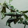 Oleander Hawk Moth (Male)