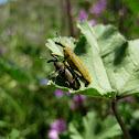 malva weevil; gorgojo de las malvas