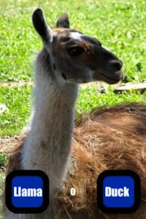 Llama Or Duck?! - screenshot thumbnail