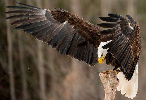 Bald Eagle Stops for a Snack by Peter K. Burian - Animals Birds ( flight, eagle, bird of prey, wings, bald eagle, national bird )