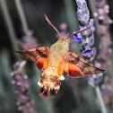 African hummingbird moth