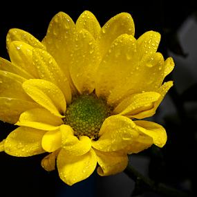 Beautifull Yellow by Marcelino Moningka - Flowers Single Flower ( flower )