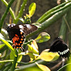 Common Mormon pair