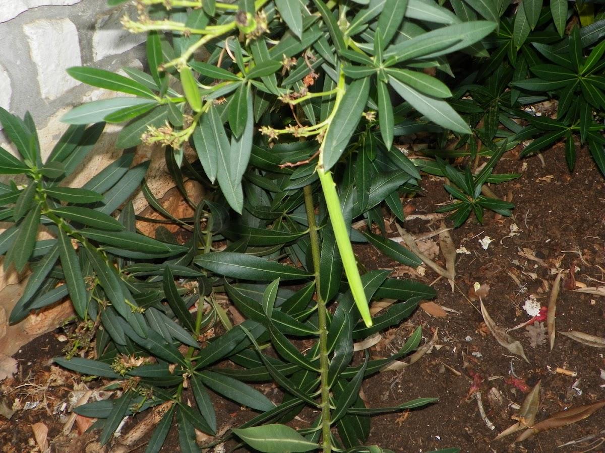 Oleander seed pod
