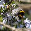 Bumblebee / Abejorro / Borinot