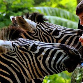 Hey, Zebra by Syafriadi S Yatim - Animals Horses ( #animal #zoo #zebra #chaild # taman safari #indonesia )