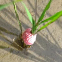 Golden Apple Snail (GAS), kuhol (Fil.)