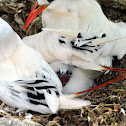 Red-tailed tropicbirds (& chick)
