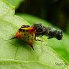 Phoroncidia spider.