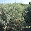 Big Saltbush