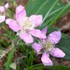European Raspberry blossom