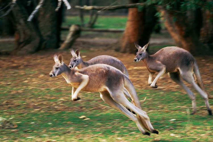 Kangaroos near the coast in Australia, one of the encounters you'll have on a Cunard cruise Down Under.
