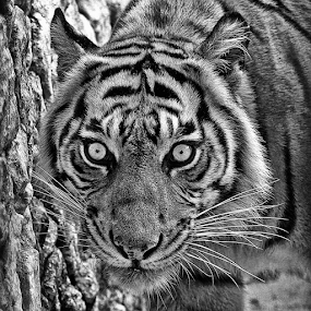 by Haryo Suryo - Black & White Animals ( big cat, face, tiger, anger, animal )
