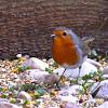 Pitroig (European Robin)