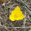 Autumn daffodil (κίτρινο κρινάκι)