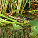 baby american alligators