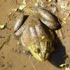 American Bullfrog