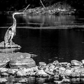 by Dennis Scanlon - Animals Birds