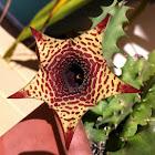 Cape carrion flower (Stapelia)