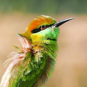 green bee eater by Chhaditya Parikh - Animals Birds ( bird green nature hungry fly,  )
