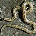 Two-Colored or Two-Headed Snake