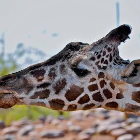 Curled Tongue by Miren Etcheverry - Animals Other Mammals ( wild, zoo, tongue, giraffe, safari, feeding, sanctuary, feed, animal,  )