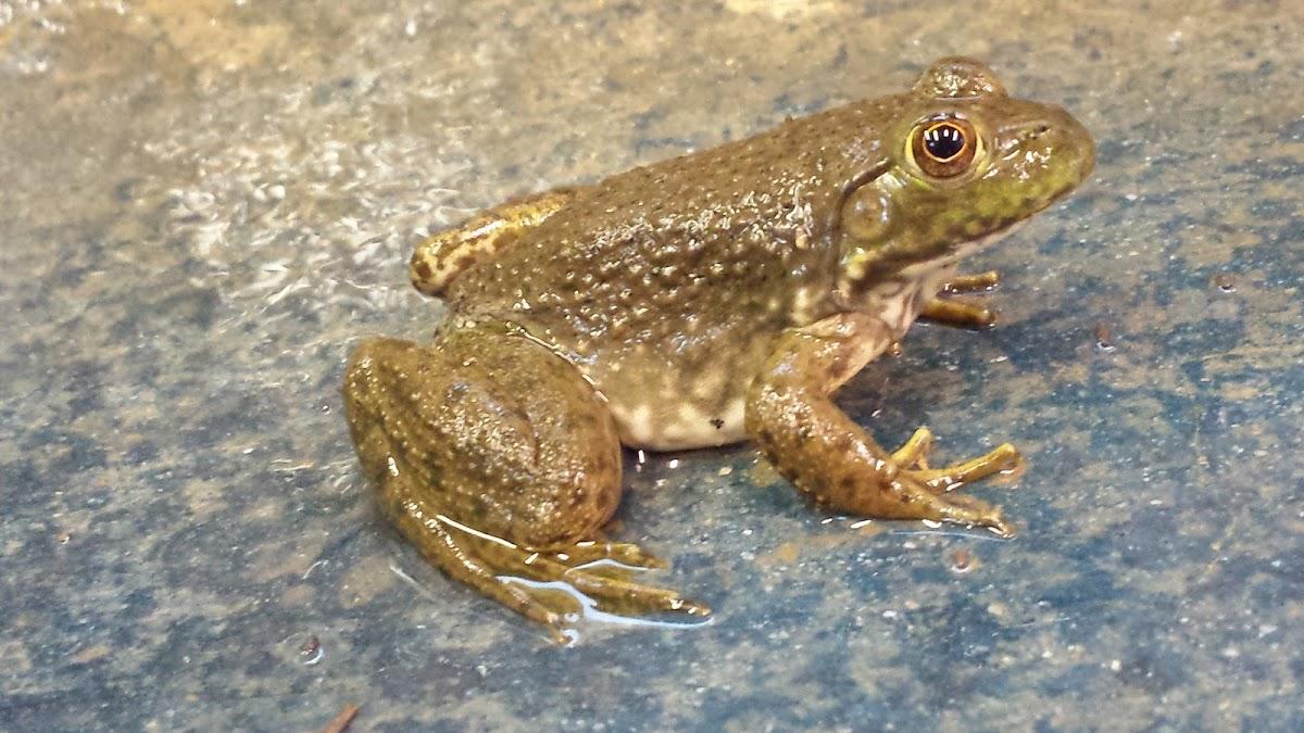 American Bullfrog (juvenile)