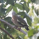 White- Winged Dove