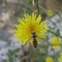 Marmalade Hoverfly ♀
