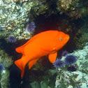 Garibaldi and Purple Sea Urchin