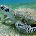 Green Sea Turtle / Tortuga Verde