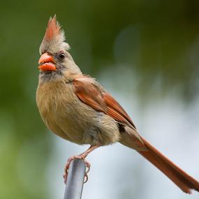 Proud Mama by Janet Lyle - Animals Birds ( cardinal, wildlife, birds,  )