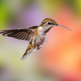 by Lyle Gallup - Animals Birds ( bird, hummingbird, summer, flowers, , fly, flight )