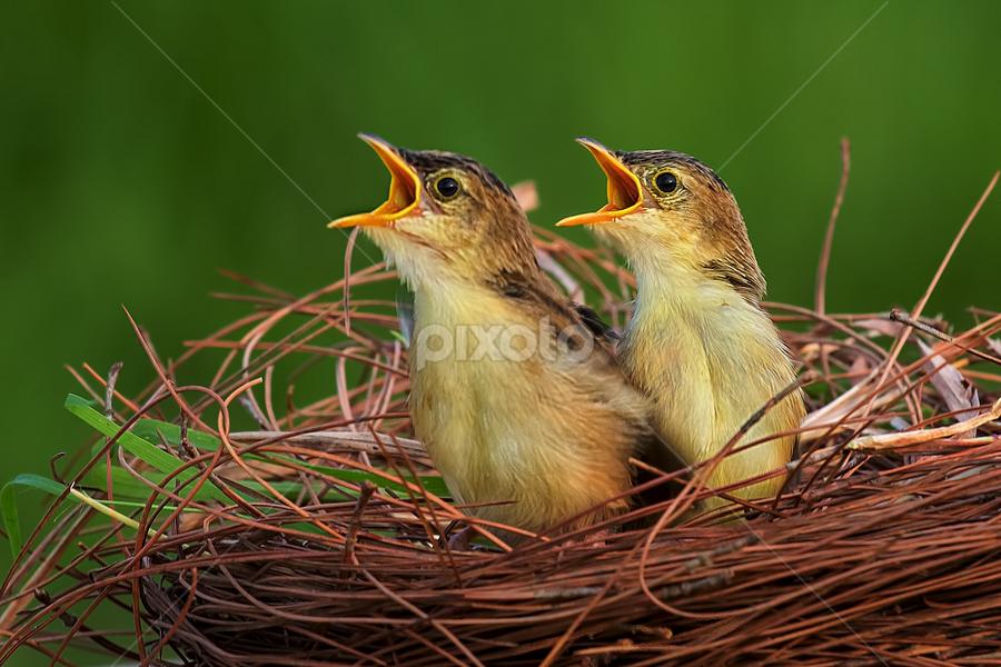 Birds in a nest by Husada Loy - Animals Birds (  )