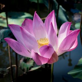 Lotus by Lucien Vandenbroucke - Flowers Flowers in the Wild