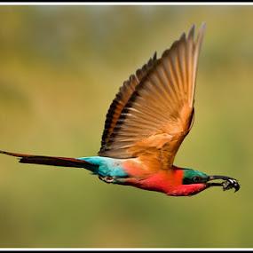 Carmine beeeater by Jan Fourie - Animals Birds