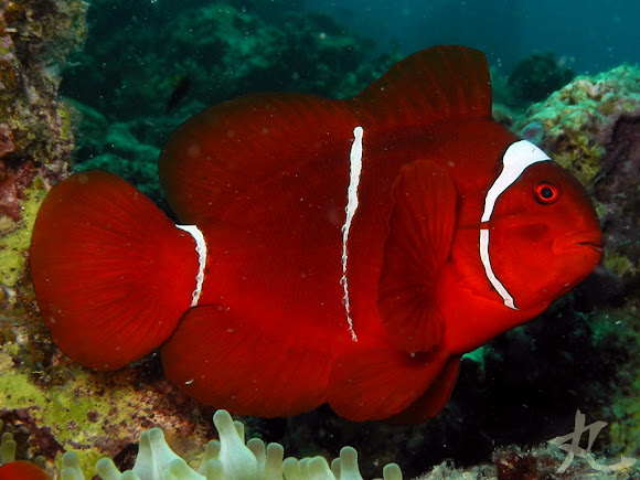 springers damsel fish and algae symbiotic relationship