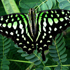 The Tailed Jay